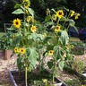 Jcc Sunflowers